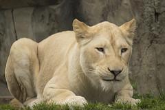 Witte-Leeuwin (Jan de Neijs Photography) Tags: leeuwin witteleeuwin ouwehandsdierenpark ouwehands zoo dierentuin tamron tamron150600 animal roofdier lioness