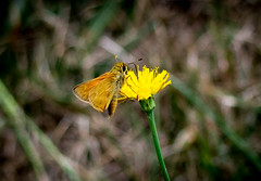 The eye sees only what the mind is... (knoxnc) Tags: grasses bokeh summer nikon outside d7200 depthoffield orangemoth mothandyellowflower