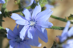 Artistic blue flower (dfromonteil) Tags: blue bleu flower fleur macro bokeh light nature provence summer
