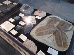 IMG_1719 (clare_and_ben) Tags: 2016 minnesota stpaul saintpaul sciencemuseumofminnesota fossil trilobite