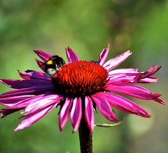 Blomma med humla (3) (marie.hasselberg) Tags: humla bumbelbee solhatt blommor purple coneflower nordensark