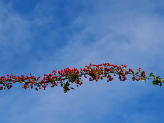 hawthorn tendril (mark.griffin52) Tags: olympusem5 england buckinghamshire slapton sky blue red haws hawthorn tree berries