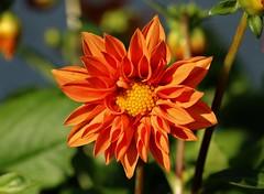 an orange dahlia................. (Suzie Noble) Tags: flower flowers dahlia orangedahlia garden strathglass struy flowertubs