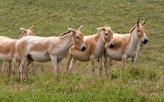Prezwalski's wild horse #1 (billd_48) Tags: ohio summer animals captive thewilds cumberland oh usa