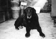 Marlon (Marlena F.) Tags: dog olddog blackbeauty black blackandwhite schwarzweis analog analogphotography filmphotography film filmlove filmshooters home eifel germany nature classic agfa