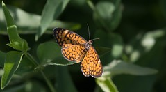 Generating Energy (harefoot1066) Tags: lepidoptera papilionoidea nymphalidae nymphalinae melitaeini microtia microtiadymas damasiadymas tinycheckerspot