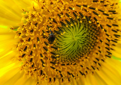 Insecto en un Girasol (argosu) Tags: flores flor flower flowers naturaleza natural nature amarillo color campo colores