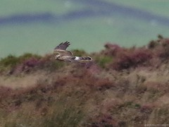pallid harrier sighting peak district 9 sep 2016 3.30pm (Simon Dell Photography) Tags: hen harrier sighting 9 sept 2016 peak district moor longshaw supprise view suprise cliff edge derbyshire sheffield simon dell photography pallid sep 330pm circus macrourus