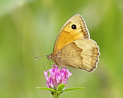 Meadow brown - bruin zandoogje (Roland B43) Tags: butterfly insect bokeh macro meadowbrown canon7d sigma180mmmacro