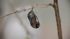A Monarch arrives in the world (dbifulco) Tags: monarchbutterfly insect eclosing emerging chrysalis nature macro viceo