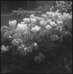 Levallois ([Hugo Charrier]) Tags: france moyen format medium 6x6 120 tlr semflex twin lens reflex levalloisperret levallois fleurs flowers kodak tmax 100