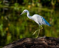 Juvenile Little Blue Heron (b88harris) Tags: little blue heron juvenile baltimore county maryland park white bird marsh summer sunlight sunshine sun light exposure feeding yellow legs nikon d7200 nikkor 300mm lens specanimal