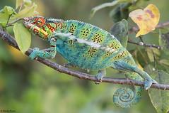 madagascar-2016_2456b3 (Marco Pozzi photographer (800k+ views, thanks)) Tags: pantherchameleon chameleon reptile camaleontepantera camaleonte rettile nosybe madagascar specanimal pozzi marcopozzi marcopozziphotographer specanimalphotooftheday