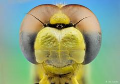 dragonfly extreme portrait (gatomotero) Tags: dragonfly macroextremo macrosmuymacros sonya7r scheneidercompononmakroiris28mm28 amarillos extreme liblula odonatos