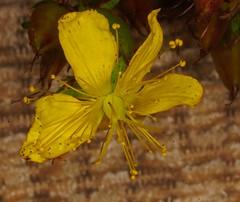 Perforate St John's Wort - Hypericum perforatum. (1) (Ben Grader) Tags: flower bloom blossom weed wild plant sepil petal stamen leaf stem pistil raceme culpeper sony slta77 tamron perforatestjohnswort hypericumperforatum