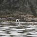 Sea meerkat