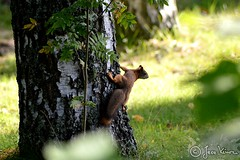 Finland (FotoLintu) Tags: squirrel squirrels tree outdoor outside finland finnish forest flower suomi sun sunny light orava puu birch leaves grass ground green animal