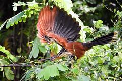 """1/2 Hoatzin moove../""""Danse"""" de l'hoazin Hupp (geolis06) Tags: geolis06 prou peru per amriquedusud southamerica manu amazonie amazonia rainforest jungle fort forest madrededios biospherereserve parcnationaldeman mannationalpark 2016 patrimoinemondial unesco unescoworldheritage unescosite pantiacollatour nikon nikond7200 sigma sigma150600mmf563dgoshsmcontemporary ophisthocomushoazin cochawasi hoazin hoatzinhoazinhupp lac cocha wasi hoatzin birdofperu bird"""