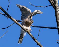 Sharp-shinned Hawk (millerb34) Tags: birdperfect