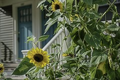 Blue Door Sunflowers (uselessbay) Tags: 2016 eastside nikon uselessbayphotography williamtalley d700 floraandfauna flowers fullframe nature sunflowers uselessbay
