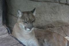 Portland, OR - Washington Park - Oregon Zoo - Great Northwest - Cougar (Mountain Lion) (jrozwado) Tags: northamerica usa oregon portland zoo cougar puma mountainlion cat greatnorthwest washingtonpark