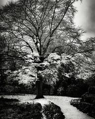 White Tree I - BW (rodriguesfhs) Tags: bw warwickshire england kenilworth abbey fields park tree autumn fall white nature plant