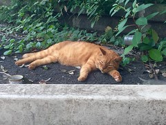 (hamapenguin) Tags: animal cat straycat neko