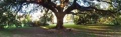 (sftrajan) Tags: tree oak campus lawn panoramic tulaneuniversity neworleans sonydsch90 universidad universit