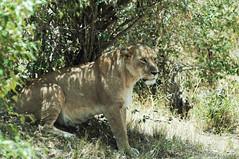 The age of the Lion (jhderojas) Tags: lion masai mara kenia