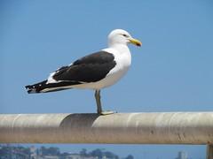 Gaviota (Ayrton Blunt) Tags: gaviota aves birds mar seagull