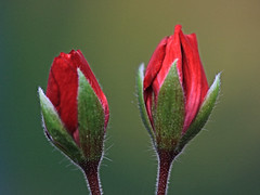 Red Flowers Bud (hbickel) Tags: red flower bud canont6i canon photoaday pad macro macrolens