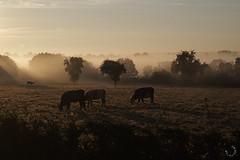 2016_septembre_DSC5771 (brunata61) Tags: paysage levdesoleil brume stouensurmaire vaches sony a58 normandie