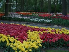 Dutch Tulips, Keukenhof Gardens, Holland - 0783 (HereIsTom) Tags: travel flowers flower holland nature netherlands dutch gardens garden spring europe colours tulips sony cybershot olympus tulip bloom keukenhof tulpen tulp webshots e500 f505