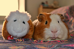 spot the differences (Giulia van Pelt) Tags: toy guinea pig cavy bed plush boris differences find letto peluche porcellino cavia trova giocattolo dindia differenze porcellus