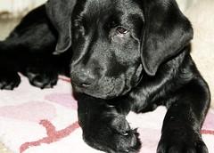 bel cagnetto ❤ (Anto/logia) Tags: dog love cane puppy photo labrador foto pablo nero amore cucciolo nostalgy felicità