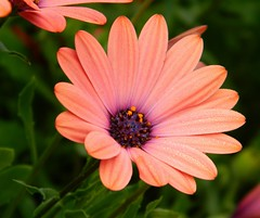 There is only one corner of the universe you can be certain of improving... and that's your own self. (careth@2012) Tags: daisy perfectpetals awesomeblossoms theeliteofflickrsawesomeblossoms unforgettableflowers flowersonflickr thebestofunforgettableflowers suzysflowersgallery