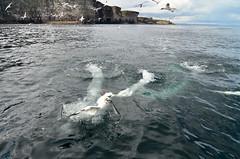 Competition under the cliff (supersky77) Tags: ocean cliff scotland dive shetland tuffo gannet oceano sula scogliera ecosse scozia morusbassanus noss birdcliff shetlandislands sulabassana isoleshetland