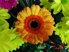 Orange Gerbera (Paula J James) Tags: flowers flower pretty gerbera orangegerbera hennysgardens