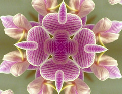 Orchid kaleidoscope (where paths meet) Tags: pattern transformation kaleidoscope