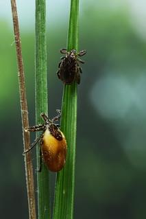 Two ticks