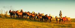 Foram todos terra e sol... (Eduardo Amorim) Tags: brazil horses horse southamerica field brasil criollo caballo cheval caballos mare campo cavalos pelotas pferde cavalli cavallo cavalo pferd riograndedosul pampa champ hest hevonen campanha brsil chevaux gua  yegua amricadosul hst  amriquedusud   sudamrica suramrica amricadelsur  sdamerika crioulo caballoscriollos criollos  tropillas  costadoce americadelsud tropilhas tropilla  crioulos cavalocrioulo americameridionale caballocriollo auffangen eduardoamorim cavaloscrioulos