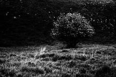 Cieli di Pietra (bebo82) Tags: flowers blackandwhite bw white tree pentax stones fiori sassi albero biancoenero bianchi pentaxk20d pentaxk20