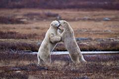 Morning Rumble (2) (jeff_a_goldberg) Tags: canada manitoba polarbear tundralodge naturalhabitatadventures highqualityanimals dailynaturetnc12 divisionno23unorganized