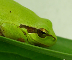 Stripeless Tree Frog - Hyla meridionalis (gailhampshire) Tags: tree frog hyla meridionalis stripeless