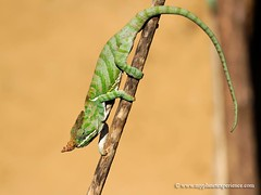 Should I stay or should I go - chameleon - Madagascar (My Planet Experience) Tags: africa winter red male canon rouge island rain