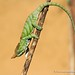 Should I stay or should I go - chameleon - Madagascar