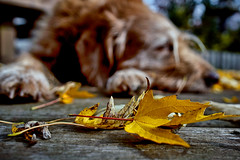 Lazy Days of . . . Autumn (sean lancaster) Tags: autumn sleeping dog fall leaves composition zeiss leaf dof bokeh sony sharp 24 labradoodle naturallighting nex 5n emount nex5n za24 sonnarte1824