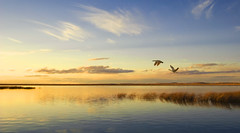 Couple in Flight (Roland Taylor) Tags: sunset lake reflection water grass birds landscape evening geese montana flight roland taylor wetland refuge bentonlake rolandtaylorcom rolandtaylor
