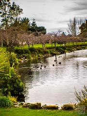 Lagoon @ IPC campus (atogdude) Tags: campus ipc ducks olympus lagoon cherryblossoms palmerstonnorth zuiko