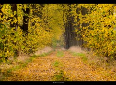 Yellow avenue (bernd obervossbeck) Tags: autumn trees leaves alley path herbst avenue leafs bltter bume weg allee herbstfarben coloursofautumn farbendesherbstes mygearandme